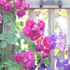 初夏の旬の花紹介♪クレマチス~!ベルテッセン、クレマチスシードと可愛らしい姿に♡
