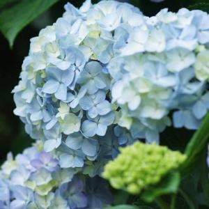 いよいよ紫陽花の季節到来~♪梅雨時期の楽しみ!序盤のアジサイ紹介