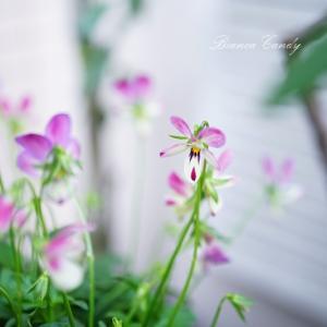 秋冬のベランダガーデニング♪春に向けて寄せ植え作り!