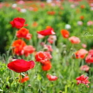 ポピー畑で花摘み@フルーツパーク長後