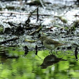 「幼鳥」キビタキ・雌