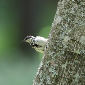 「幼鳥」シジュウカラ