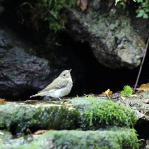 「可愛い幼鳥」キビタキ