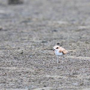 「冬羽」メダイチドリ
