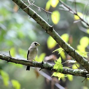 「幼鳥」イカル