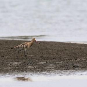 「幼鳥」オオソリハシシギ