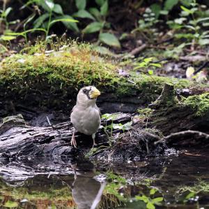 「水場に来た幼鳥」イカル
