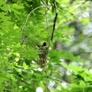 「巣作り中」サンコウチョウ・雌