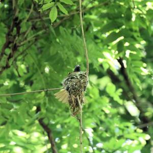 「巣作り中・その2」サンコウチョウ・雌