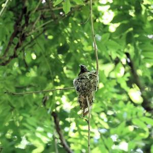 「巣作り中・その3」サンコウチョウ・雌