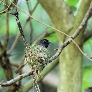 「林道の巣・その2」サンコウチョウ・雌