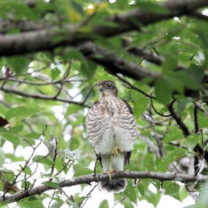「羽繕いをする幼鳥」ツミ