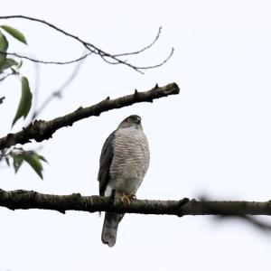 「幼鳥を見守る」ツミ・雌