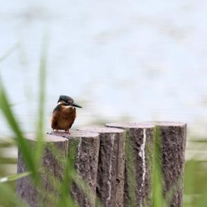 「幼鳥」カワセミ
