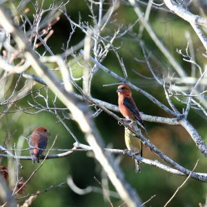 「枝で休む」イスカ・雌雄