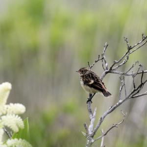「幼鳥」ノビタキ