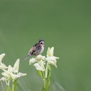 「コバイケイソウの花」ホオアカ
