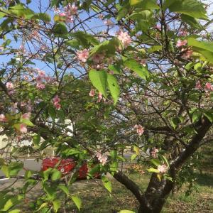 時期ハズレの桜