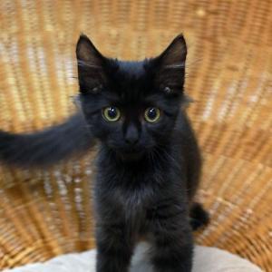 黒猫長毛アッシュくん新しいおうちが決まりました!