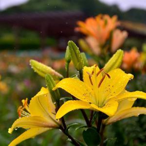 雨に濡れる百合の花