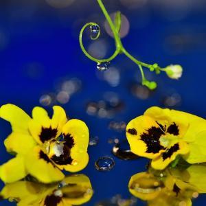 咲き残りのビオラ