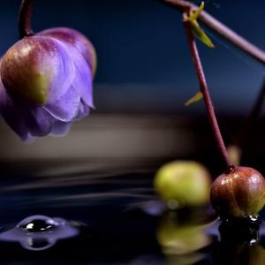 レンゲショウマ(八重)咲きたて