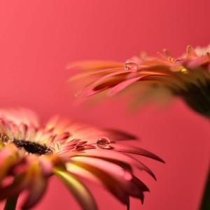 対の花びら