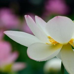 知らない蓮の花