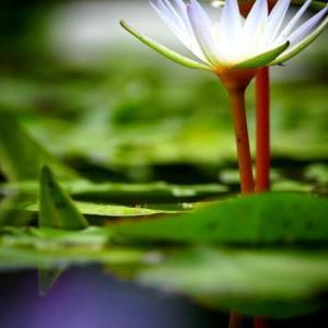 熱帯性睡蓮