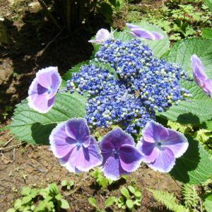 一関市舞川 みちのく紫陽花まつり2019-07-13-14