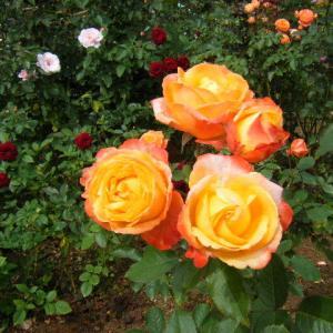 秋の花巻温泉街、バラ園2019-09-28-06