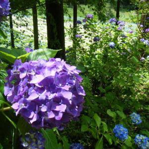 一関市舞川 みちのく紫陽花まつり2019-07-13-18