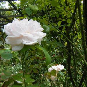 秋の花巻温泉街、バラ園2019-09-28-07