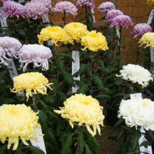 秋の中尊寺、菊祭り、紅葉2019-11-09-06