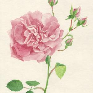 今日の絵「庭のつるバラ」