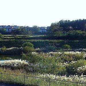 秋の風物詩 遊水地のススキ