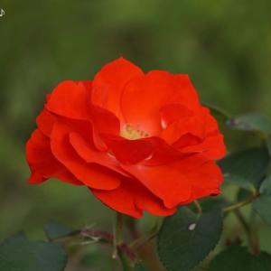 赤い花と♪愛の休日♪