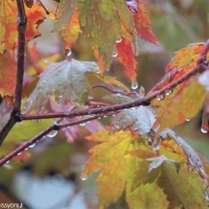 庭の楓と♪傘の雫♪
