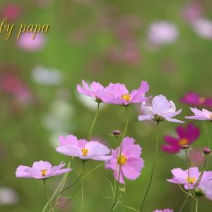 コスモス♪秋桜♪