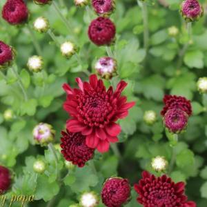 小さい菊と♪野菊の墓♪