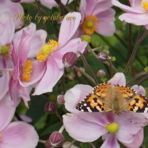 滝野の蝶と♪アゲハ蝶♪
