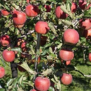 果実の木と♪幸福論♪