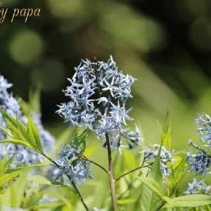 ♪青い花♪&うちの小桃
