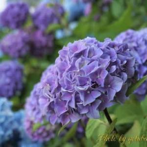 紫陽花と♪永遠が見える日♪