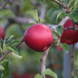 木に生る果実♪りんごのうた♪