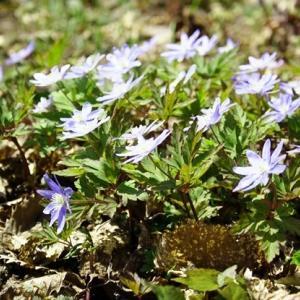 キクザキイチゲとロックガーデンの春の花