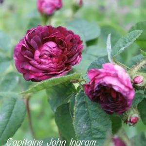 山荘で咲いているバラ