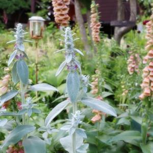 遅咲きのジギタリスと庭の様子