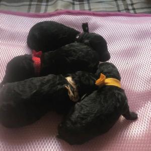 ミディアムプードル 子犬産まれました。