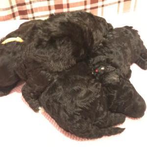 medium poodle pups /  ミディアムプードル子犬